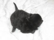 Maine Coon mladički stari 10 dni (Boby).