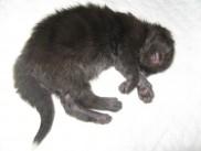 Maine Coon mladički stari 10 dni (Beckam).