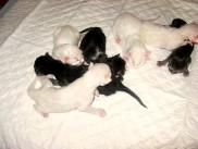 Pika's second litter, Electra, Eros, Edi, Ervin, Edvard, Erik and Enka
