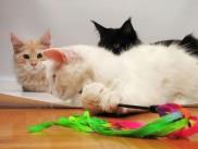 Electra med igro z ostalimi mačkami