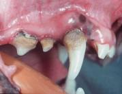 Pomanjkanje ustne higijene pri mačkah - nabiranje zobnih oblog