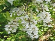Robinija <i>(Robinia pseudoacacia)</i>
