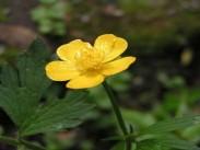 Zlatična vetrnica <i>(Ranunculus fam.)</i>