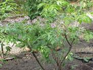 Indijaska melija <i>(Melia azedarach</i>)