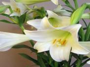 Družina lilijevk <i>(Lilium longiflorum)</i>