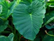 Alokazija <i>(Colocasia)</i>