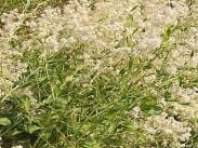 Poljska draguša <i>(Lepidium latifolium)</i>