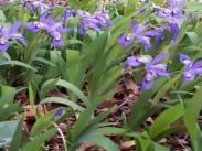Perunika <i>(Iris)</i>