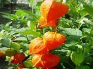 Volčje jabolko <i>(Solanaceae)</i>