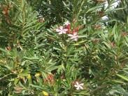 Oleander <i>(Nerium oleander)</i>