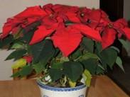 Božična zvezda <i>(Euphorbia pulcherrima)</i>