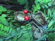 Družina metuljnic <i>(Abrus precatorius)</i>