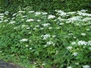 Navadna regačica <i>(Aegopodium Podagraria)</i>