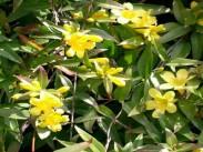 Strupeni (rumeni) jasmin <i>(Gelsemium sempervirens)</i>